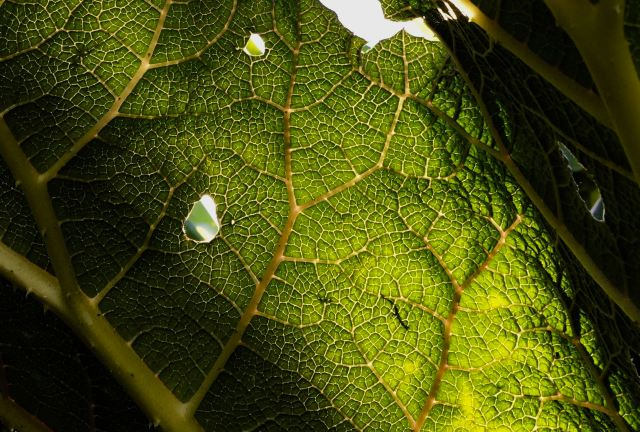 Gunnera leaf - closeup
