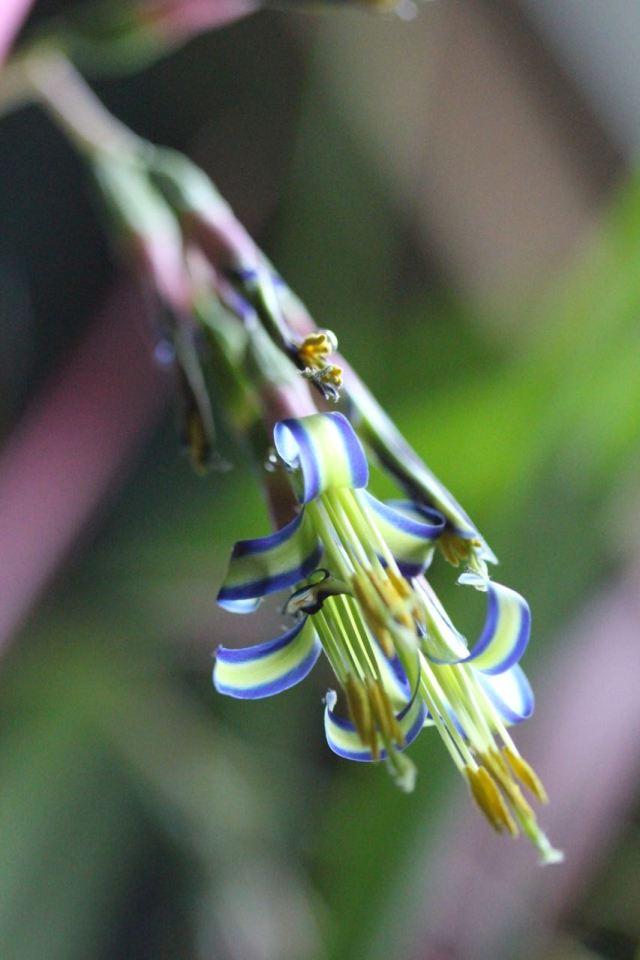 Billbergia nutans flower