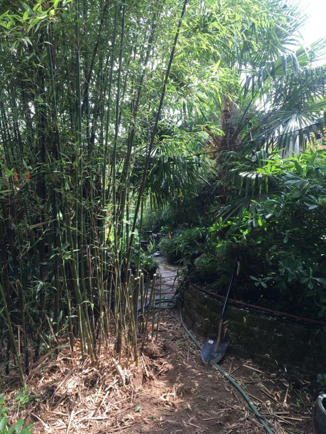 Bamboo pruning progress shot