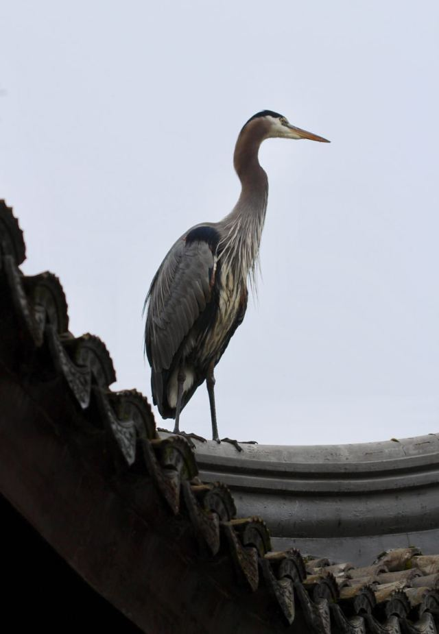Heron on roof 3