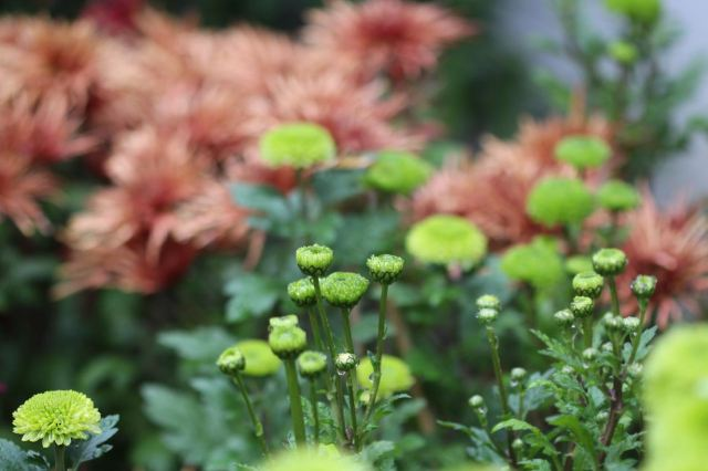 Rusty and green mums