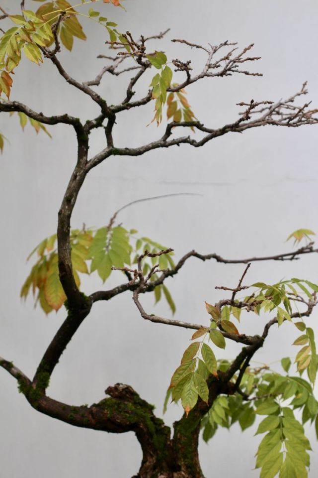 Wisteria bonsai top