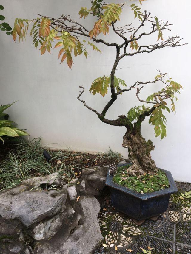 Wisteria bonsai whole