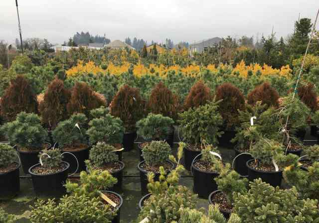 Conifers in nursery pots