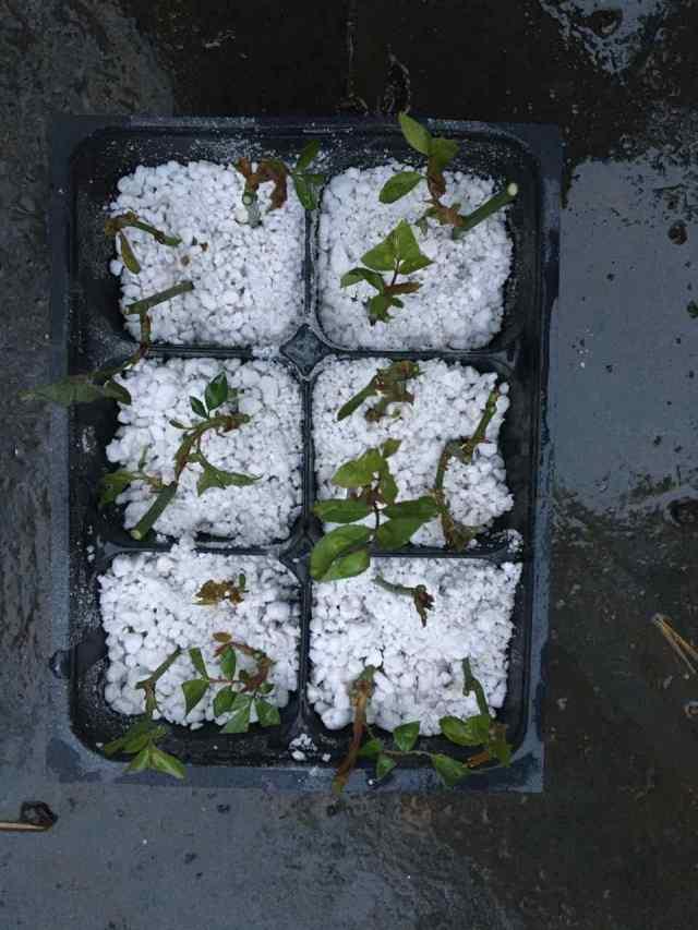 Rose cuttings - Rosa chinensis var. viridiflora