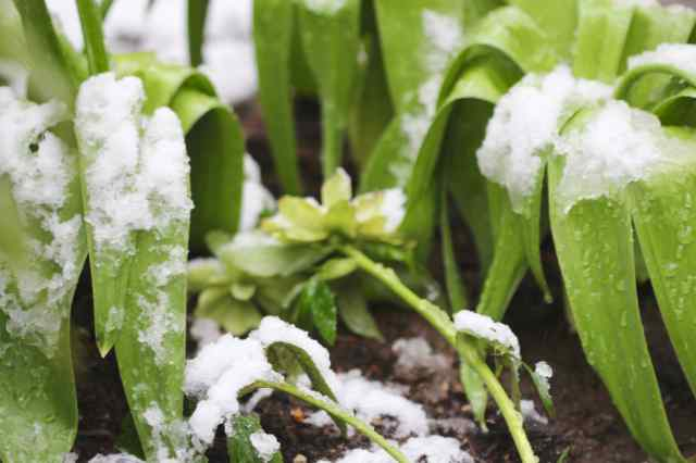 Hellebore and Allium foliage