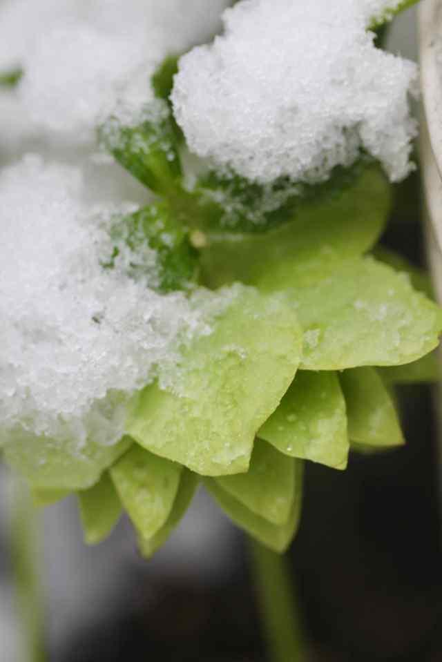 Hellebore in snow