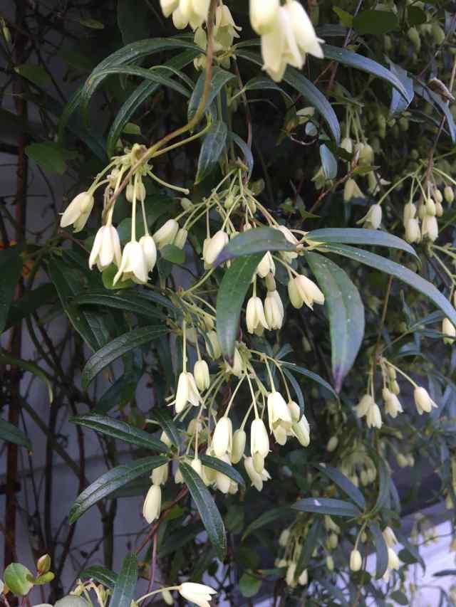 Holboellia angustifolia