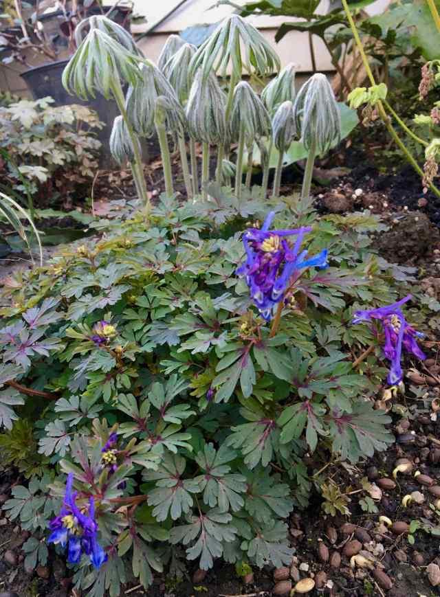 Syneilesis palmata and Corydalis 'Purple Leaf'