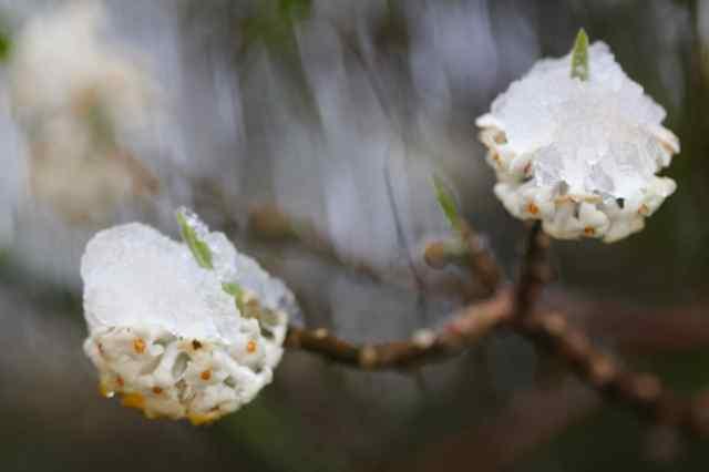 Snow covered Edgeworthia