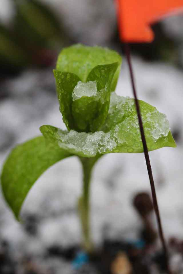 White Martagon lily emerging