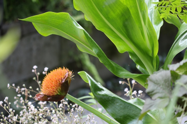 Scadoxus puniceus