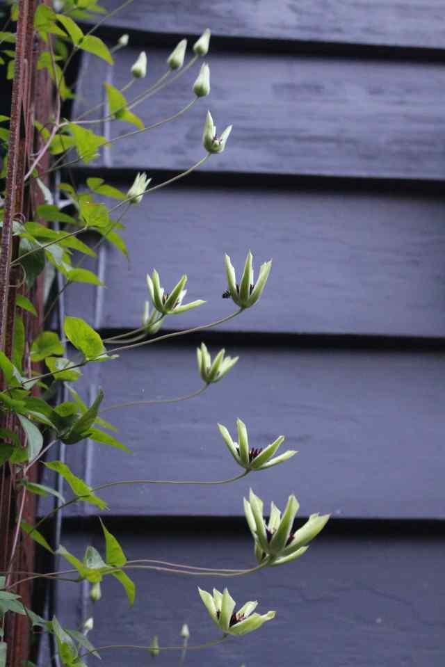 Clematis florida sieboldii half open flowers