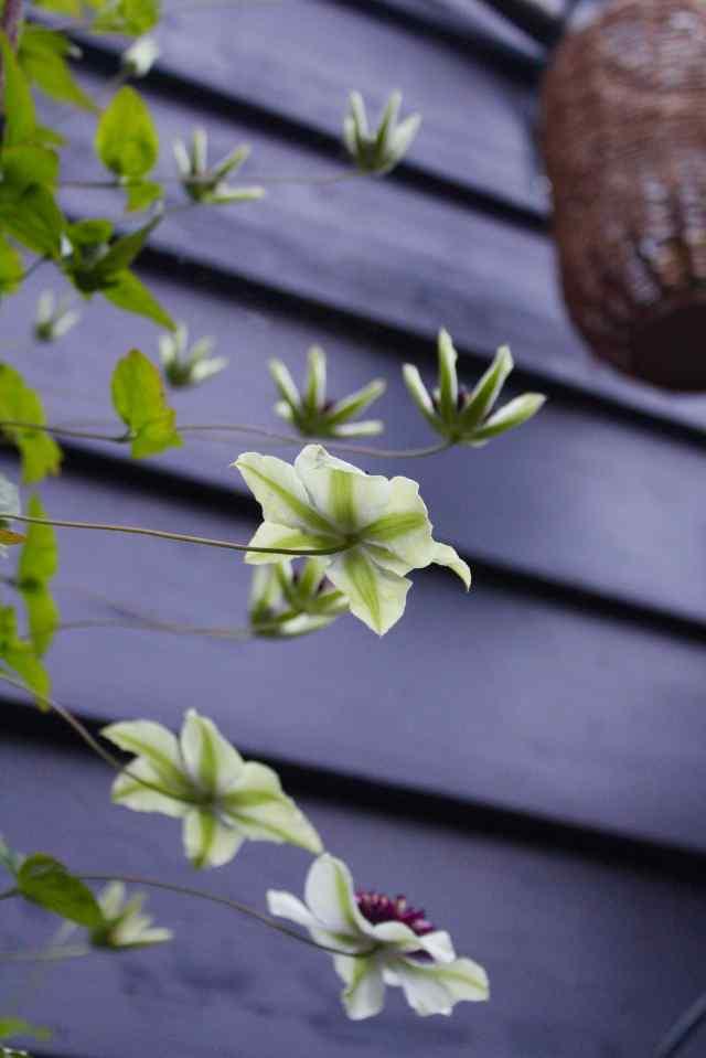 Clematis florida sieboldii flower from below