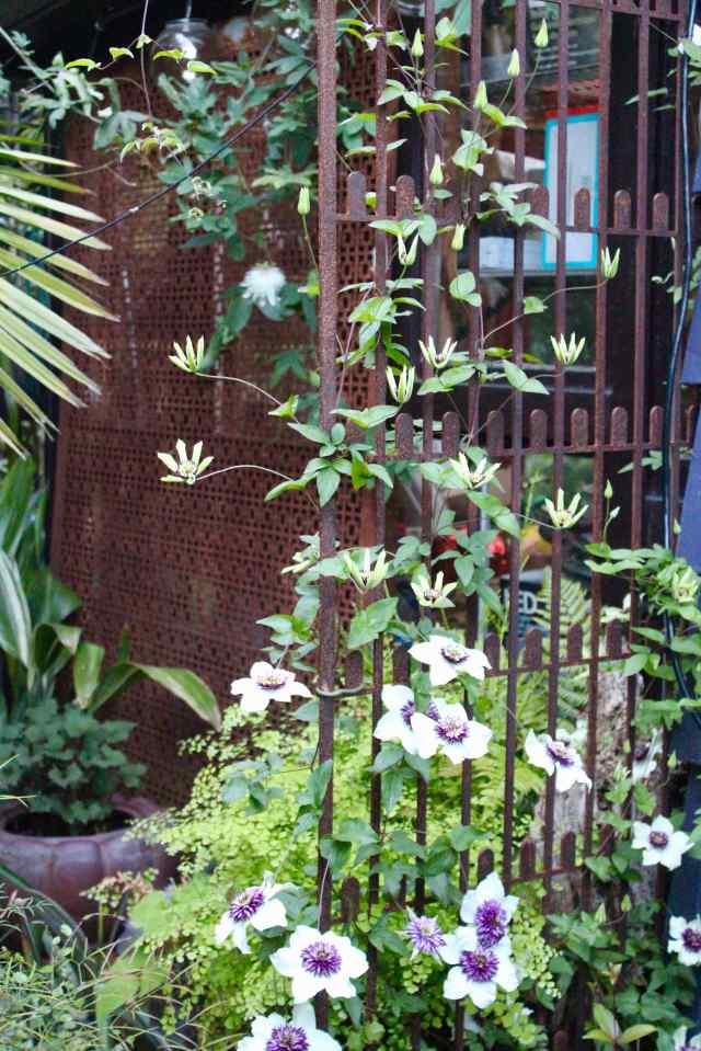 Clematis florida sieboldii flowers