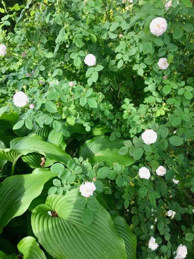 Rosa Pompom Blanc Parfait
