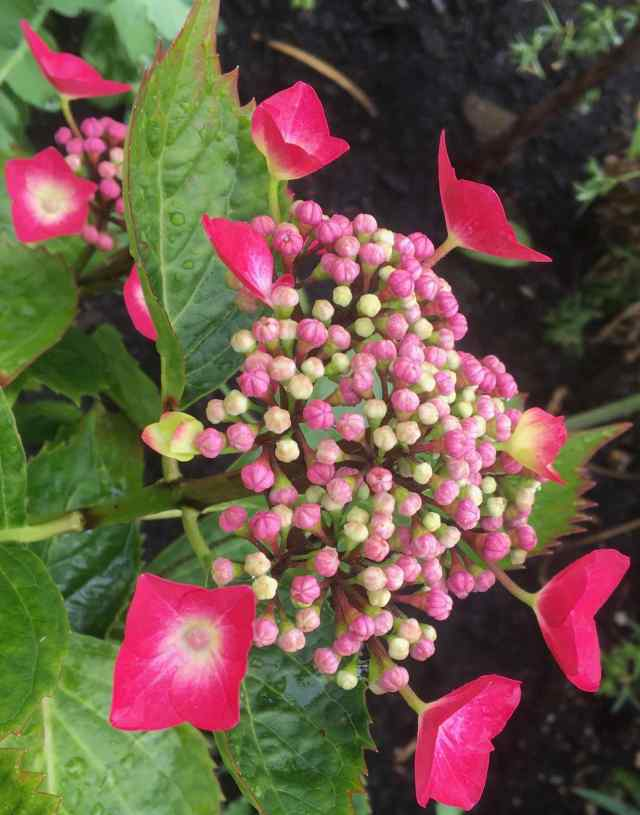 Baby Hydrangea 'Rotdrossel' planted in acidic soil in May, 2020.